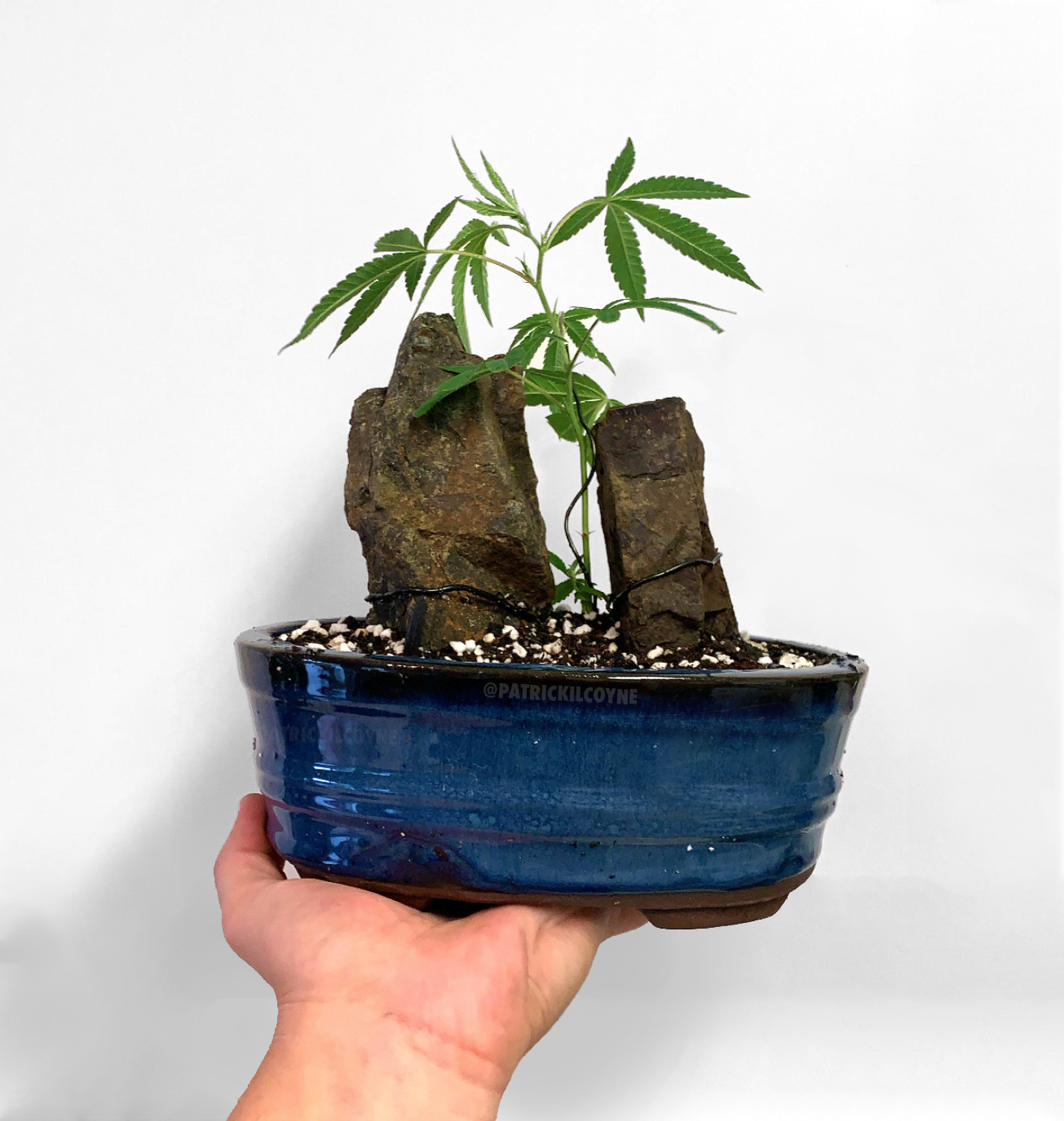 How To Grow A Cannabonsai Mother Plant